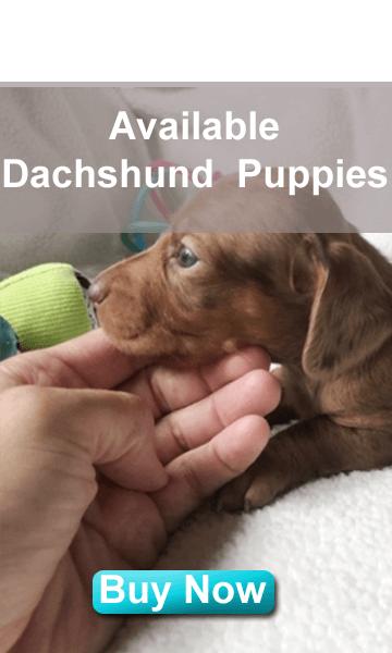 akc mini dachshunds for sale